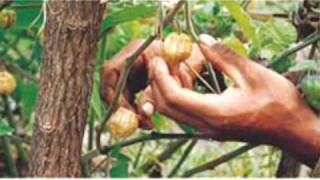 Aguaymanto fruta medicinal
