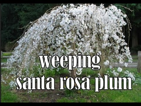 Planting And Growing Fruit Trees Dwarf Weeping Santa Rosa Plum
