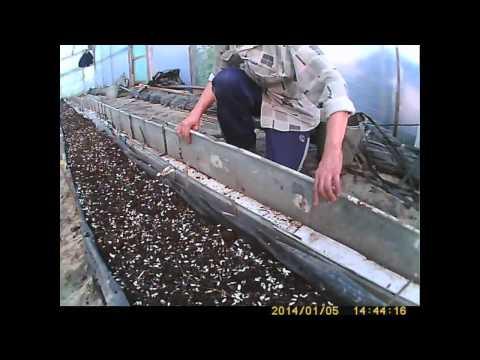 как выращивать огурец-подготовка земли часть 1