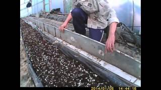 как выращивать огурец-подготовка земли часть 1(Всем привет! начинаю еще одну серию видео - теперь про огурец и как обычно начинаем с подготовки земли - в..., 2014-03-14T16:23:18.000Z)