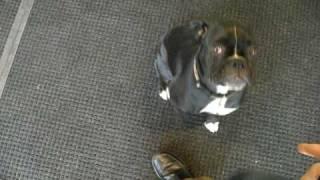 Very smart black boxer dog