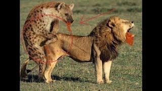 Дикой природы  Лев vs крокодил против гиен против тигр против змеи   животный мир