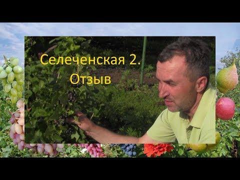 Черная смородина отзыв  Смородина Селеченская 2