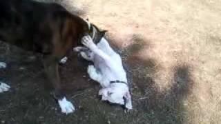 Boxer dog and American bulldog puppy playing
