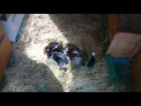 Finally all of Maudes guinea keets have hatched. Hatching experiment video diary 15