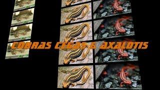 COBRAS CEGAS & AXALOTIS