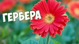 видео Гербера садовая: посадка и уход в открытом грунте, как вырастить