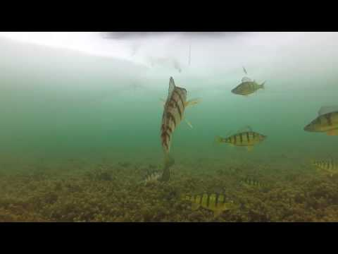 UNDER WATER ACTION! Lake Simcoe Perch - Cooks Bay - Gilford  - UNDER WATER ACTION!