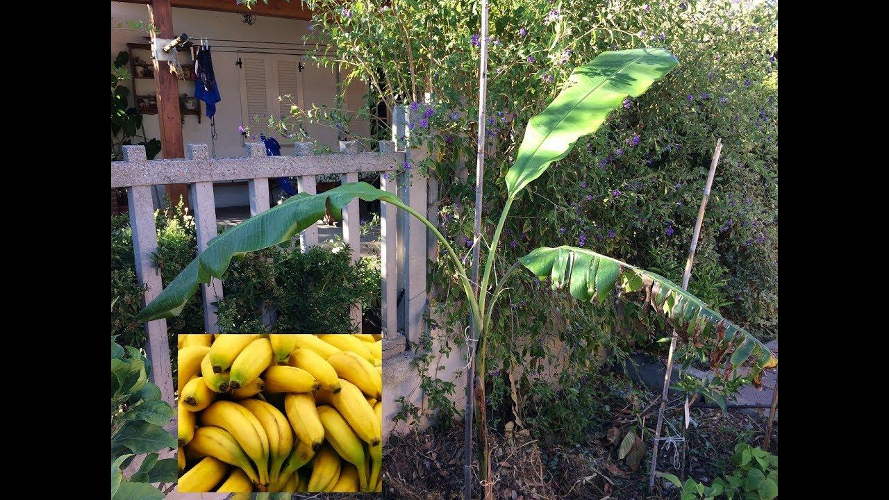 Pianta Di Banana Foto piantare un albero di banane | piante tropicali