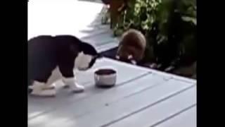 смешные приколы Кошка против енота
