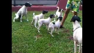 Fox Terrier Sale 0818.0847.1312 Cinere-jakarta
