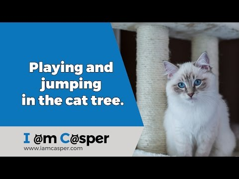 Ragdoll Casper playing and jumping in the cat tree