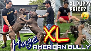 THE HUGE XL AMERICAN BULLY & 12 XL AMERICAN BULLY PUPPIES | HIGANTE LAHAT!