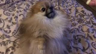 Алиса служебная собака 🐕
