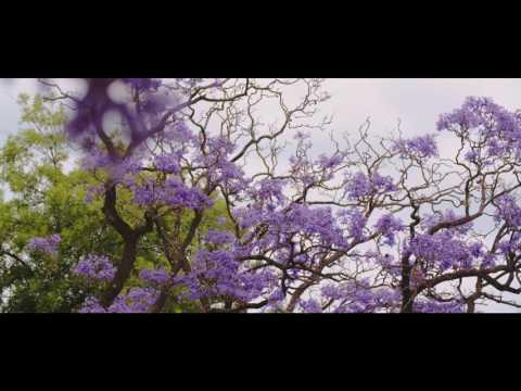 Jacaranda Trees Adelaide 2016