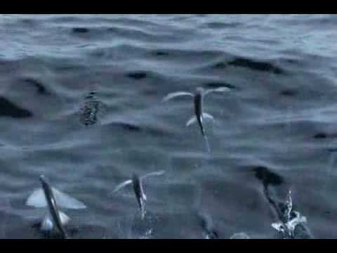 Cá Bay ! Cá chuồn..flv
