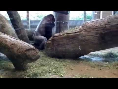 Gorillas mating and another slapping its butt at the Columbus Zoo.  6/24/14