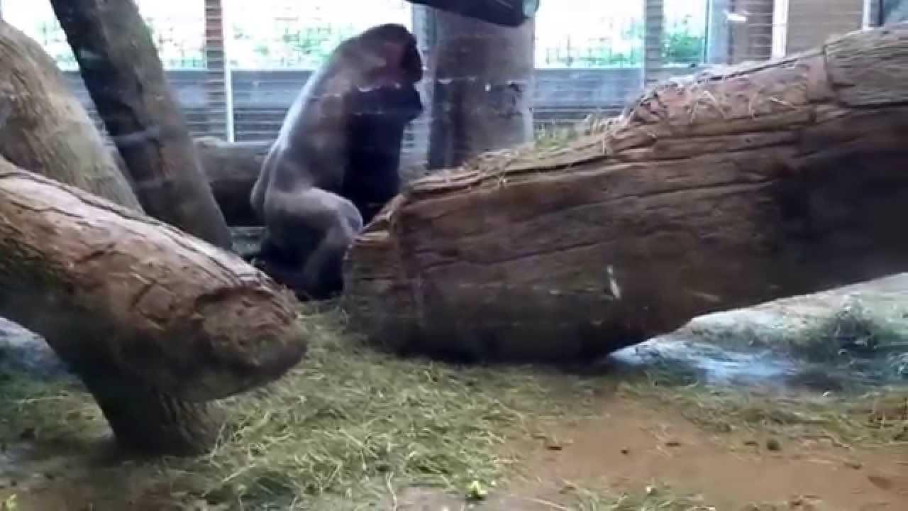Share your Big gorilla haveing sex