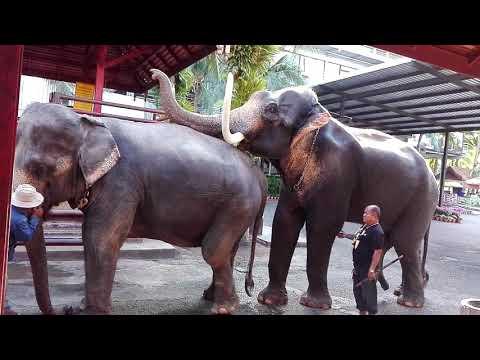 ช้างผสมพันธุ์
