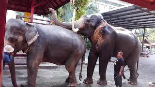 Download ช้างผสมพันธุ์ Mp3 and Videos