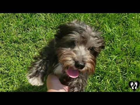 Houston dog training | 6 month old Schnoodle puppy Charlie