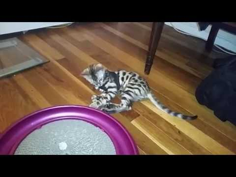 How to Harness/Leash Train Your Cat - Pt. 1 (Baby Bengal Kitten, Isis)