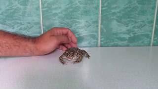 Зелёная жаба (лат. Bufo viridis)
