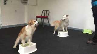 Hundetricks 2 Hunde Feli und Flocki Elefant