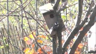 Inebriated Great Tit