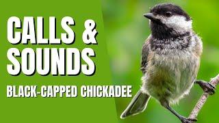 Black-Capped Chickadee Calls and Sounds - Fee Bee Call, Chicka Dee Dee Dee Call and a couple others
