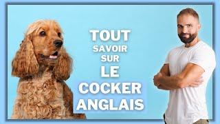 Race de chien Cocker anglais : caractère, dressage, comportement, santé de ce chien de race...
