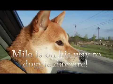 Milo Rides to Daycare | Shiba Short