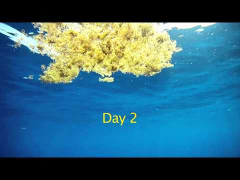 Beneath the Surface: at the Edge of the Sargassum Sea