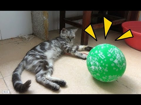 Cat Playing With Balloons 2017 Cat Is Having Fun Balloon Meo Cover Home Youtube