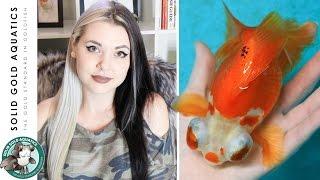 Goldfish UPDATE // Female Butterfly Telescopes