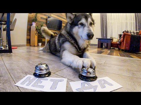 ВАУ! Собака разговаривает / Хаски и маламут отвечают на вопросы