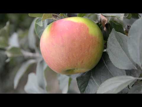 Сорт яблони Золотая Ранета или Пармен зимний Золотой
