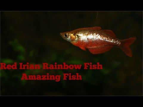 Red Irian Rainbow Fish: Amazing Fish
