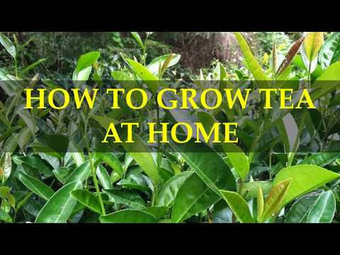 HOW TO GROW TEA AT HOME