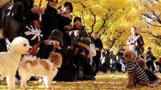 Gingko Avenue at Meiji-Jingu Gaien, Tokyo [iPhone 4S/HD]