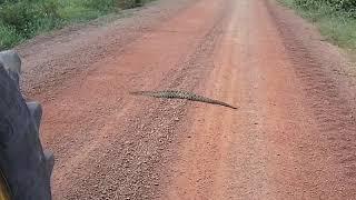 Cobra cascavel no meio da estrada olha so a reação dela