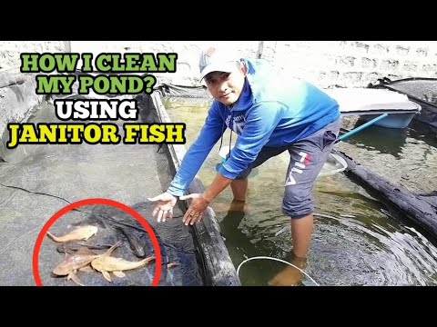 HOW TO CLEAN FISH POND USING Janitor Fish | Pleco Fish