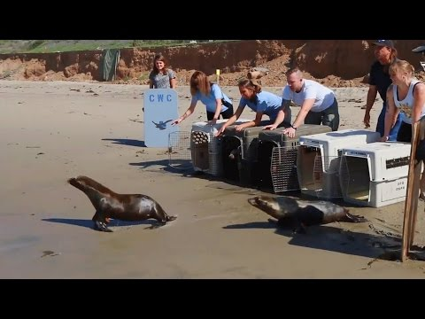 Sea Lion Pups Released