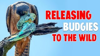 NEW TREND: Releasing Budgies to The Wild