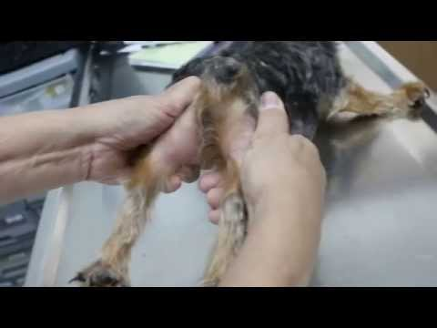 A Yorkshire Terrier has a right hip dislocation