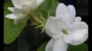 Download Video Melati Dari Jaya Giri MP3 3GP MP4