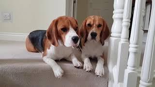 Rex & Roc The Beagle's Stubborn Beagle's