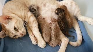 Callies newborn Ocicat kittens