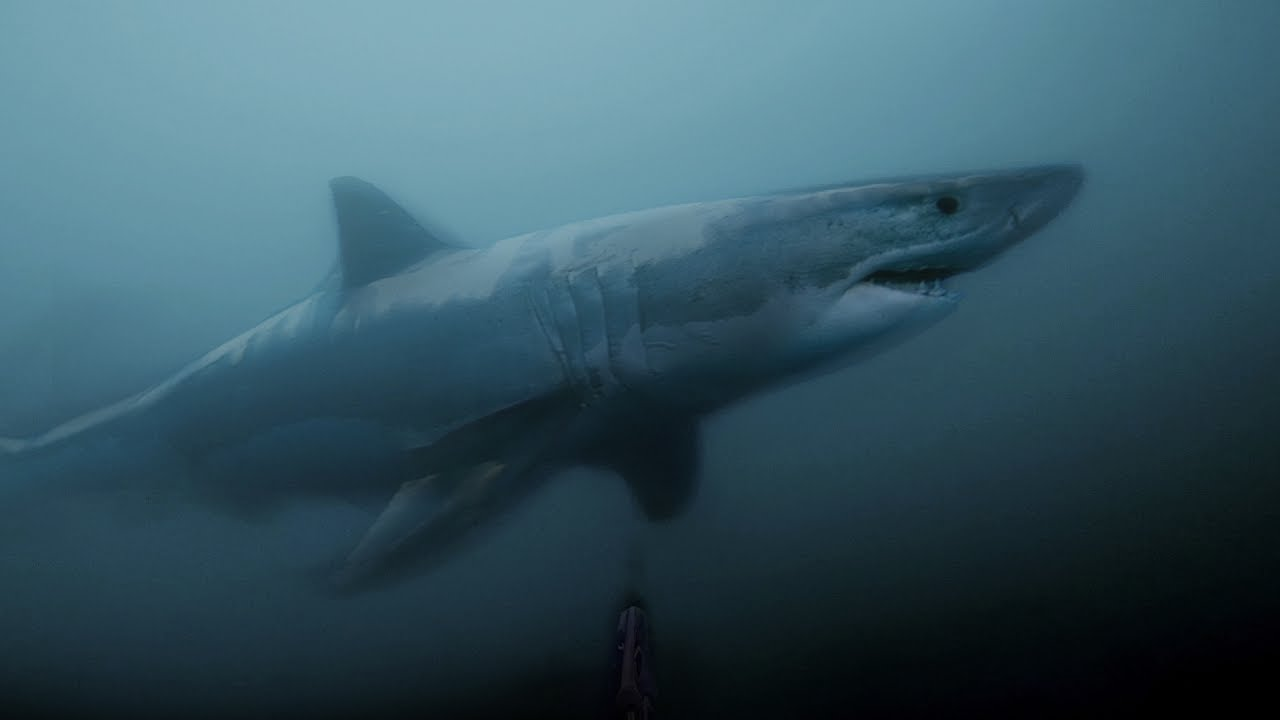 Great White Shark Photos, Pictures, Prints