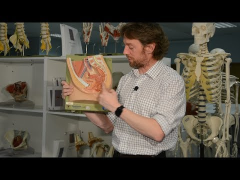 Anal canal & faecal continence (anatomy)
